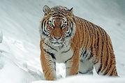 tiger siberian.jpg