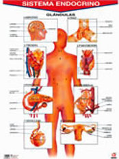 Poster -  Endocrine System Ready To Hang: Póster Sistema Endocrino