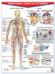 Poster Circulatory System: Póster Sistema Circulatorio.