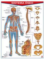 Poster Bone System: Póster Sistema Oseo.
