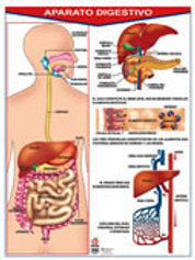 Poster Digestive System Ready To Hang: Poster
