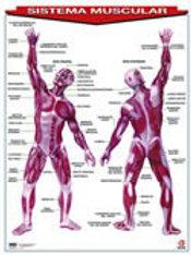 Poster Muscular System: Póster Sistema Muscular.