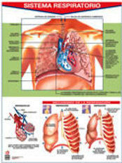 Poster Respiratory System Ready To Hang: Poster