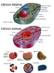 Poster  - Animal and Plant Cell: Póster Célula Animal.