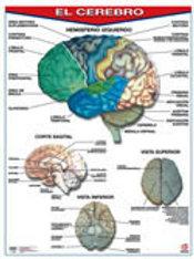Poster The Brain: Póster El Cerebro.