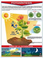 Poster Photosyntesis Ready To Hang: Póster Fotosíntesis