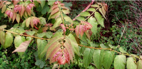 Research Brief– Fire and Invasives: Ailanthus altissima