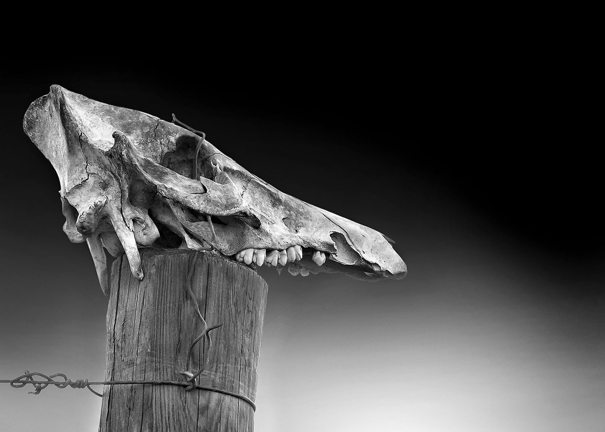 Testa di Lupo su un palo di una vigna.