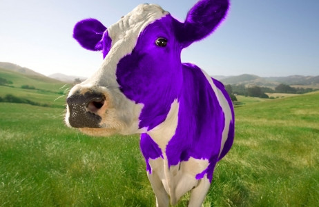 What is Purple Cow?