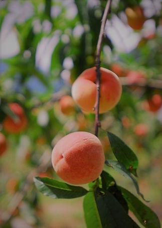 peach tree rouge.jpg
