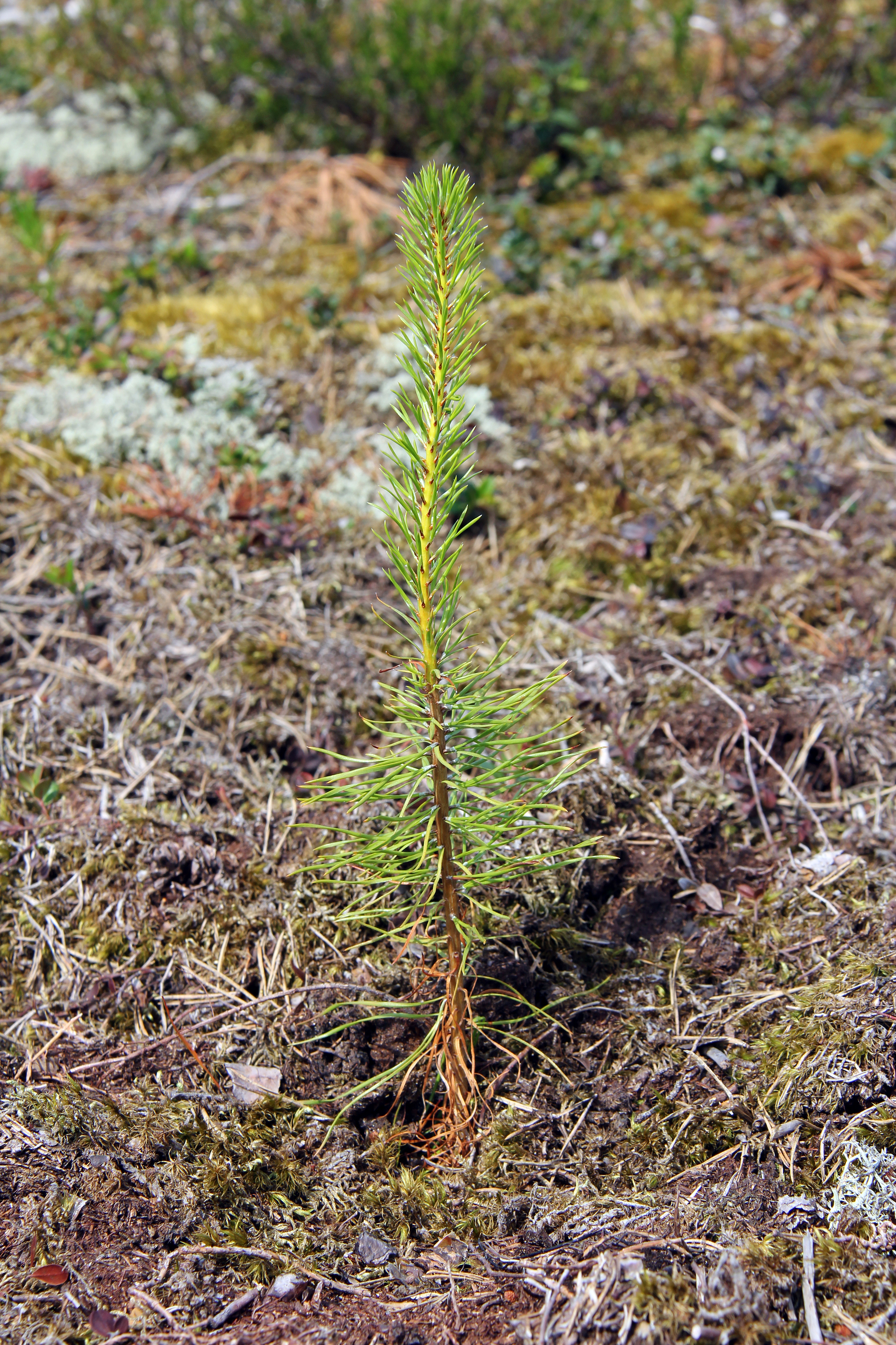 Newly Planted Pine Tree Seedling.jpg