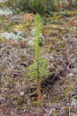 Newly Planted Pine Tree Seedling.jpg