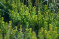 Plantation Of Young Evergreen Tree.jpg