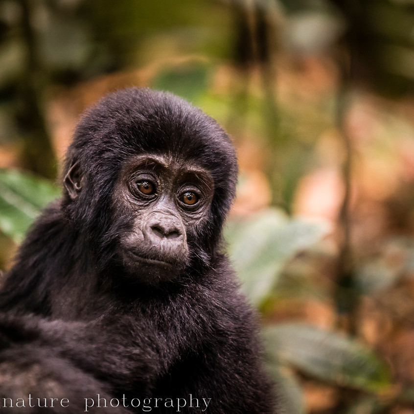 portrait of a mountain gorilla-5