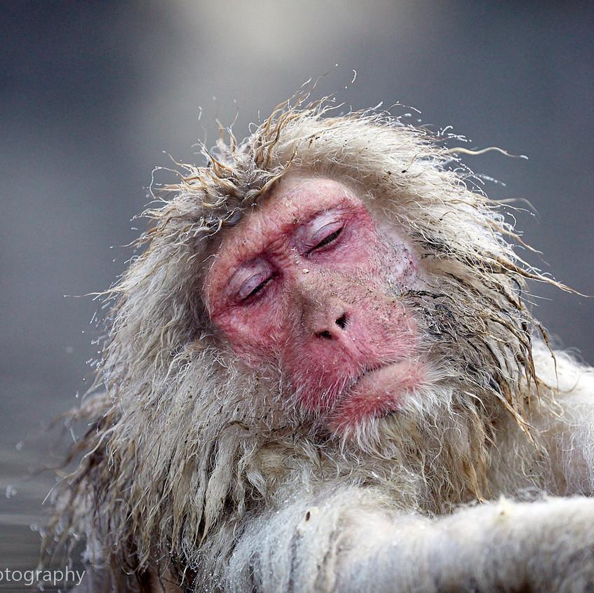 snow monkey in hot pool