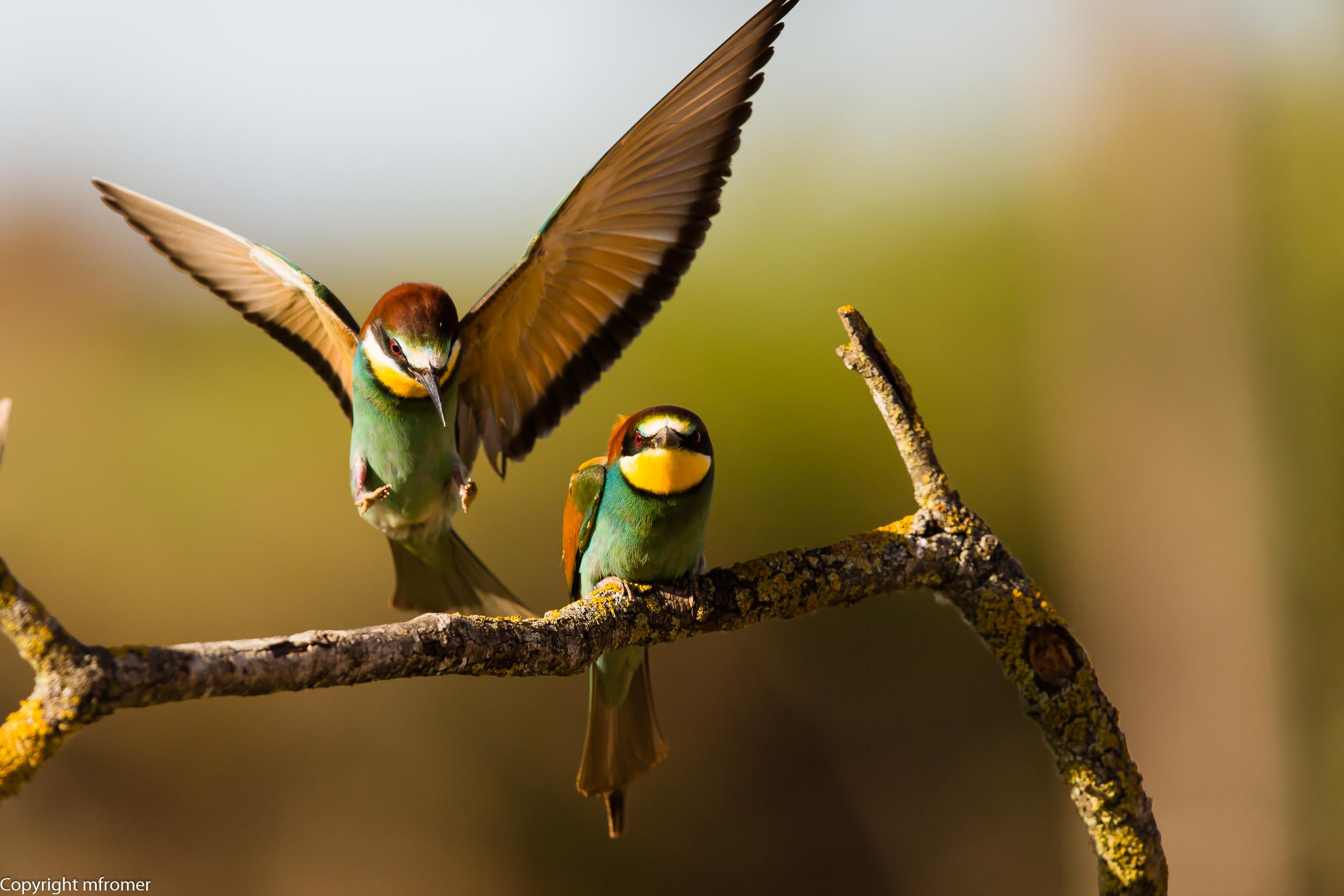 spain, european bee-eater