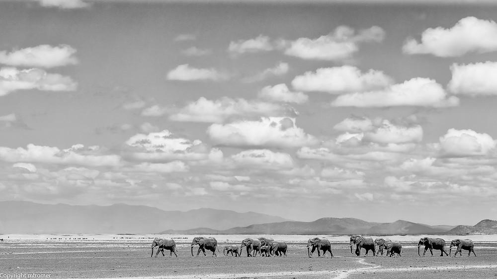 Elephants in the Amboseli NP