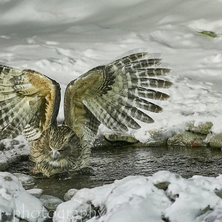 fishing owl 5