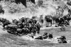 Crossing of the Mara river, 2016