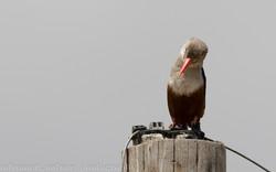 Grey headed Kingfisher, Amboseli NP