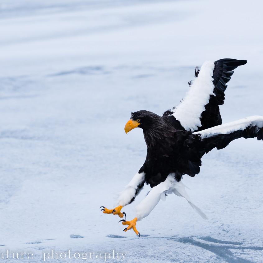 Steller's sea eagle rausu febr 2019