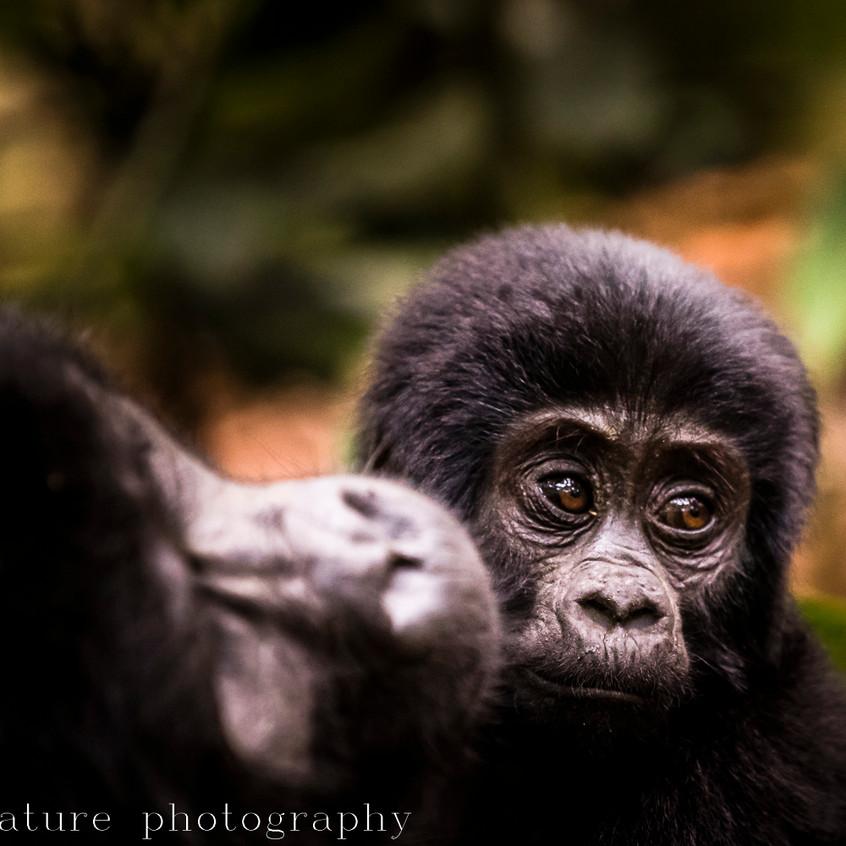 portrait of a mountain gorilla-4