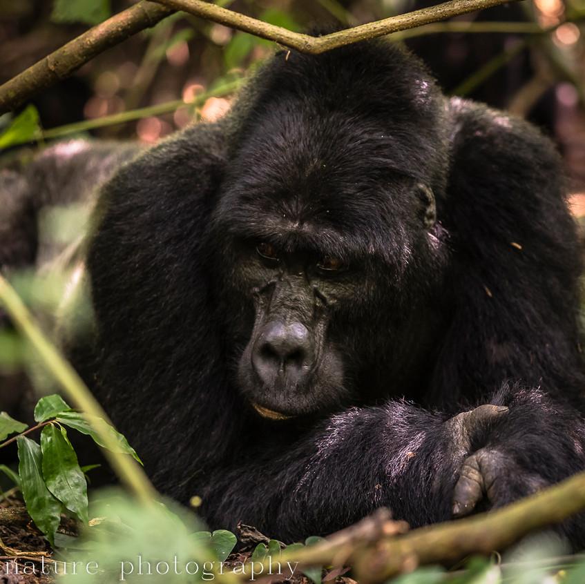 Habinyanja mountain gorilla-6