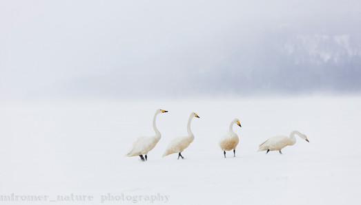2017 Lake Kashiro swans during storm