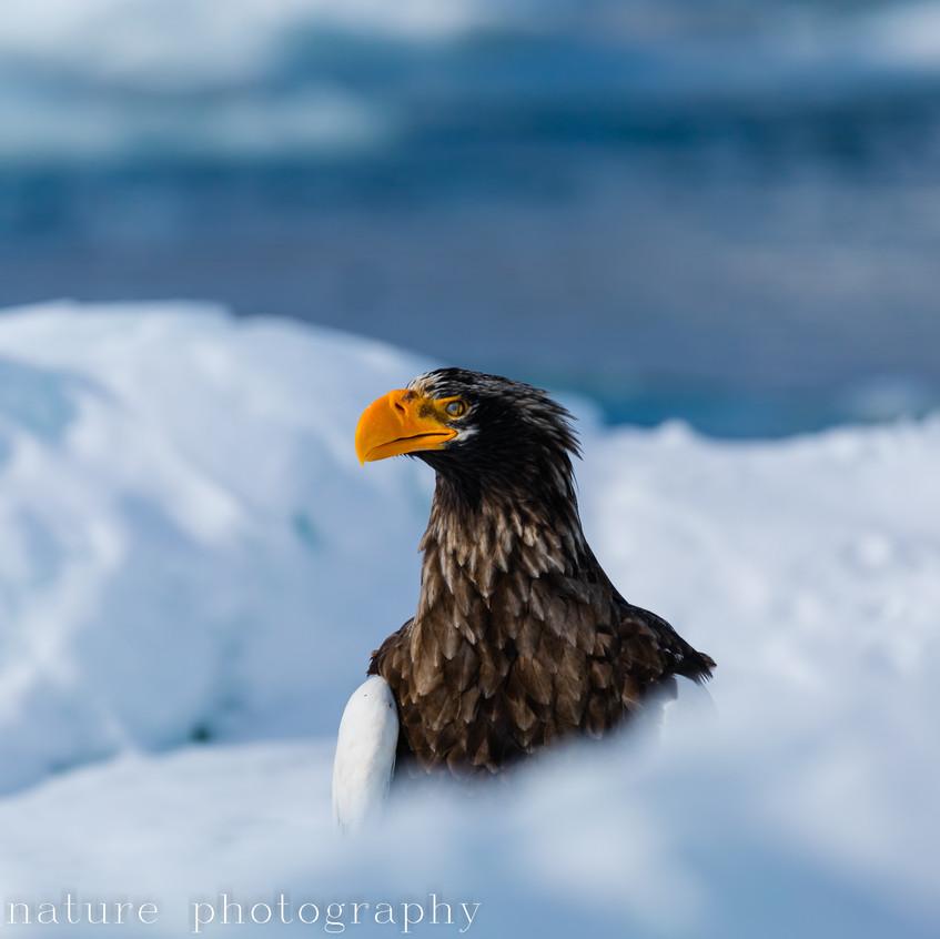 Steller's sea eagle on ice