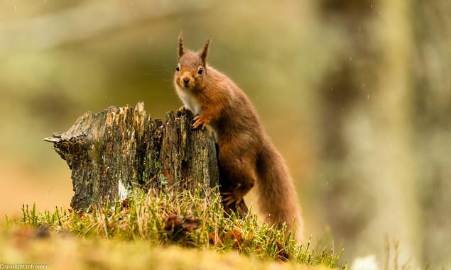 red squirrel, Scotland