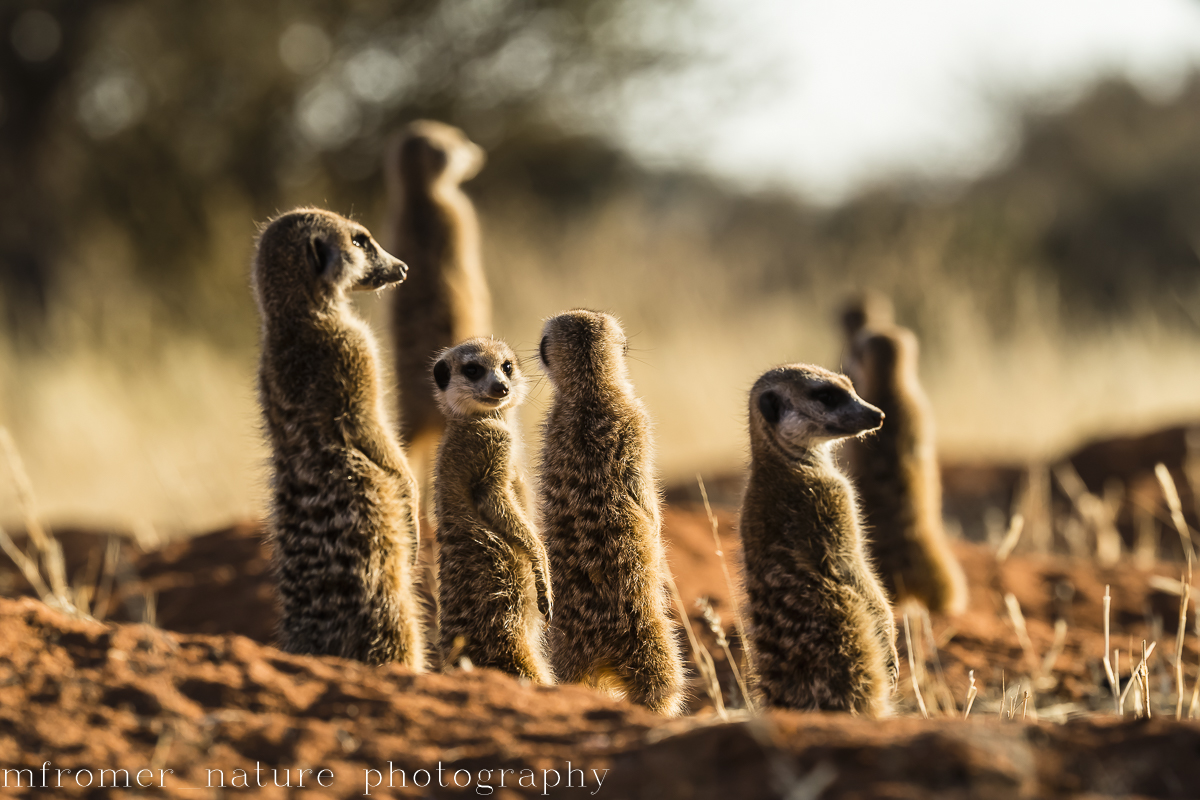 Early morning with meercats