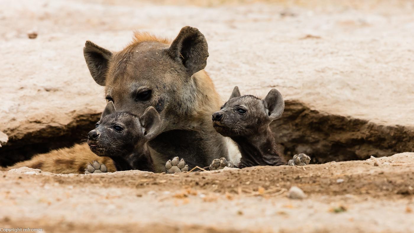 hyaena