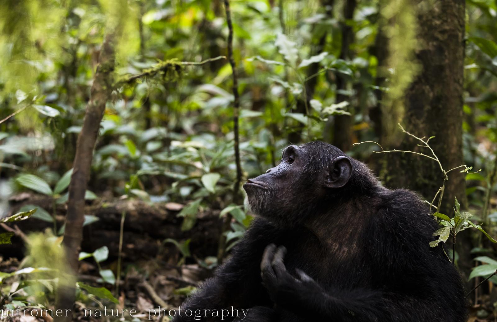 Dominant male, Chimpanzee