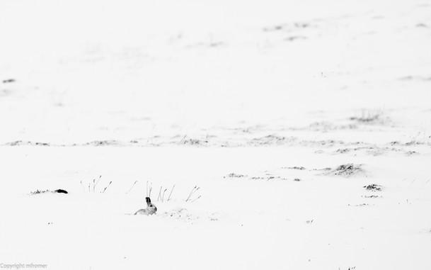 snow hares, Scotland