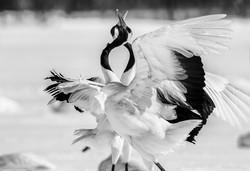 Dancing cranes