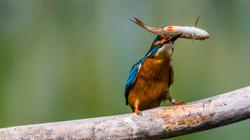 kingfisher w prey