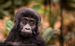 Gorilla baby Rushegura group