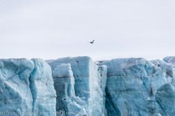 glacier cliff w birds, Kvitoya