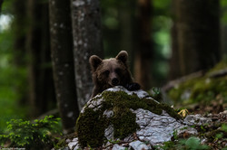 A subadult brown bear in the forests