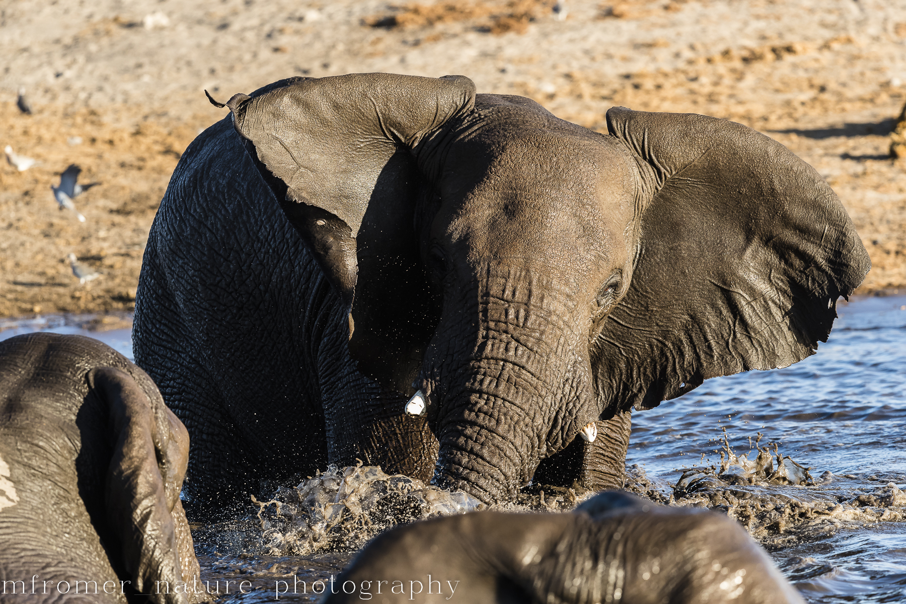 playful elephants-2