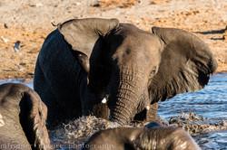 playful elephants-2