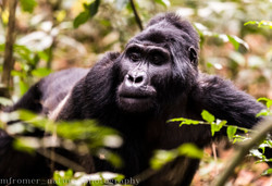 mountain gorilla rushegura group-14