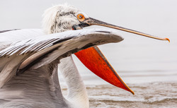 Lake Kirkini 2015, Dalmatian pelican