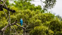 Senegal kingfisher, South Africa