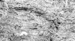 Arctic fox in black and white