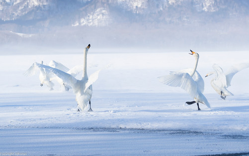 Dancing whooper swans