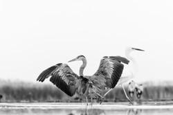 grey heron & egret