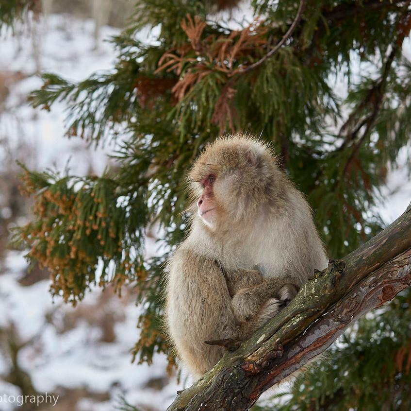 snow monkey on cedar tree