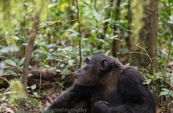Male chimpanzee