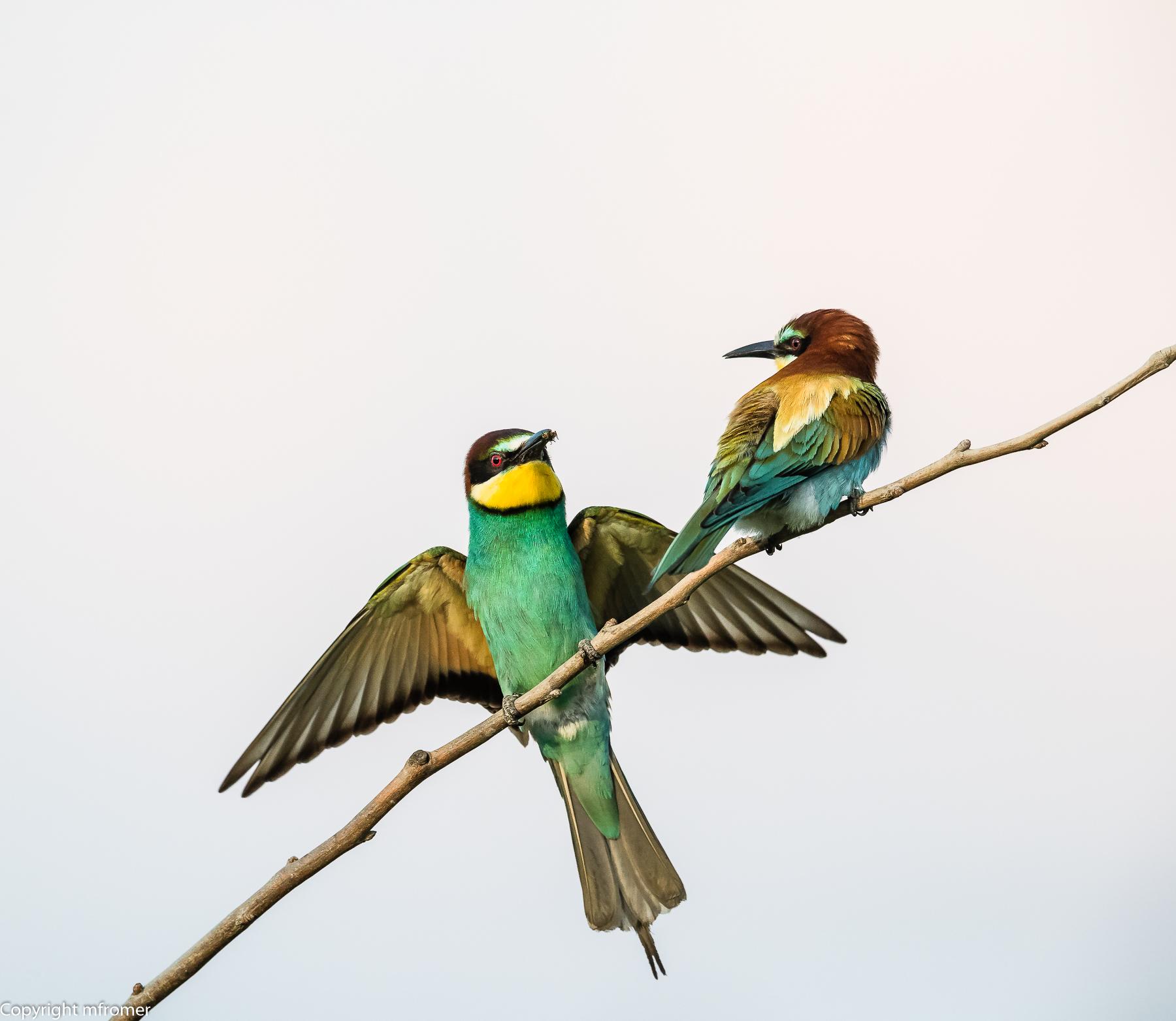 bee-eater Isola della Cona 2017